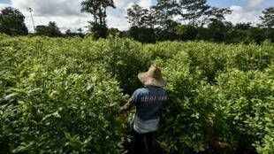 A coca field in southwestern Colombia