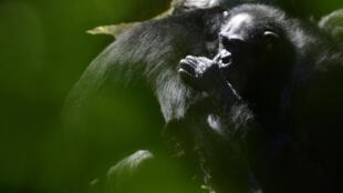 Unos chimpancés, fotografiados el 7 de mayo de 2020 en el zoo Zoom Erlebniswelt de Gelsenkirchen, Alemania