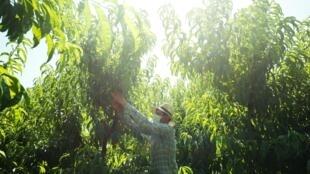 Un travailleur bulgare cueille des fruits dans un verger, le 25 juin 2020 près du village de Fraga, en Espagne, où le coronavirus a resurgi avec l'arrivée des saisonniers