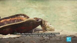 2020-05-14 01:11 Des tortues sont massacrées à Mayotte en plein confinement - Covid-19