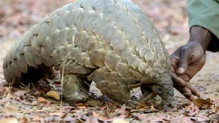 The novel coronavirus, which has killed more than 100,000 people worldwide, could have been transmitted to humans by a pangolin or a bat.