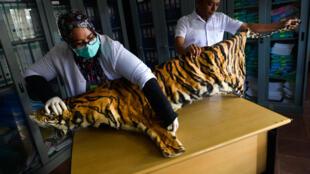 Trabajadores de la protección medioambiental examinan el pelaje de un tigre de Sumatra confiscado a un cazador en Banda Aceh (Indonesia), el 12 de diciembre de 2018