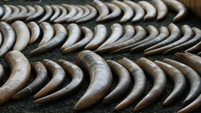 Ici, 789 kg d'ivoire saisis à l'aéroport de Koh Samui, en Thaïlande, en provenance d'Afrique.