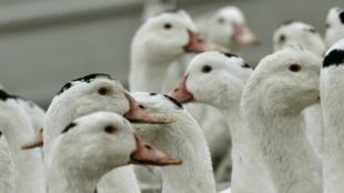 Les défenseurs de la cause animale dénoncent le gavage des oies et des canards nécessaire pour faire du foie gras.