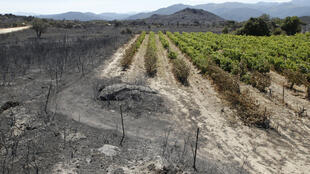 Des vignes près de Ille-sur-Têt, dans les Pyrénées-Orientales, où la grêle a ravagé 1100 hectares de vignoble.