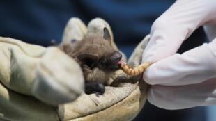 Algunos científicos creen que el nuevo Covid-19 emergió de los murciélagos y que estos se lo transmitieron a los humanos a través de otro animal.