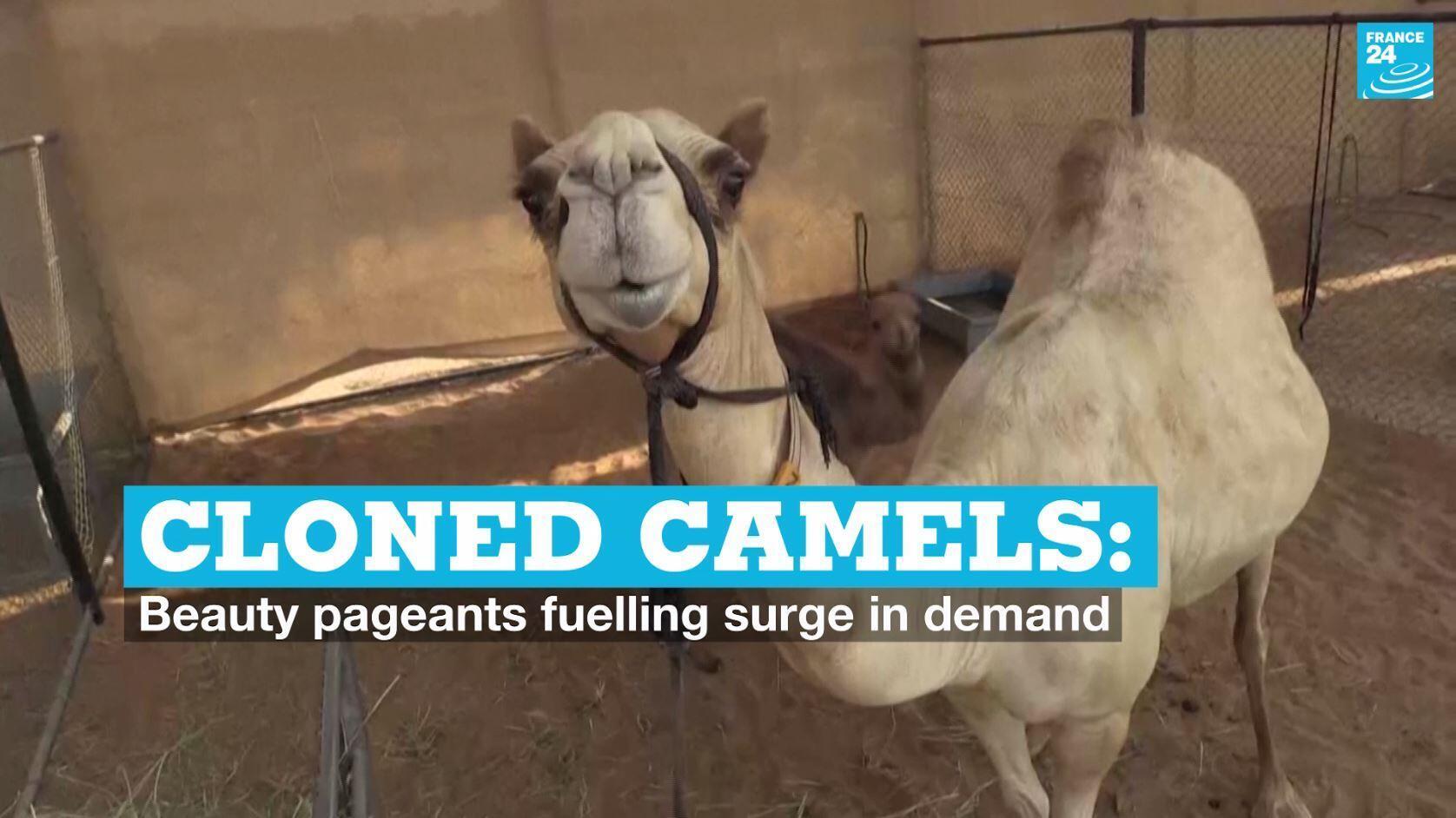 vignette cloned camels