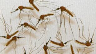 Le paludisme est dû à des parasites transmis à l'homme par des piqûres de moustiques.
