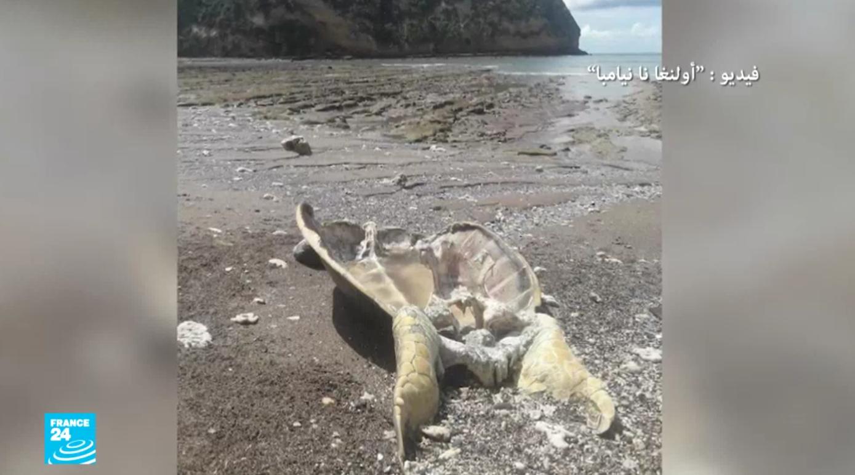 السلاحف البحرية في جزيرة مايوت افرنسية