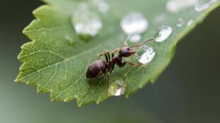 Une fourmi boit une goutte d'eau, à Rottweil, en Allemagne, le 6 juin 2018