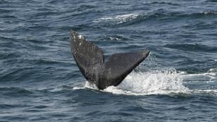 The Bureau of Ocean and Energy Management issued a report that found airgun blasts could injure as many as 138,000 marine mammals, including dolphins and whales