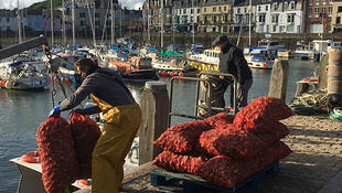 The first whelks of the season are hauled ashore in Ilfracombe.