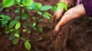 L'Éthiopie prévoit de planter quatre milliards d'arbres d'ici octobre2019, dans le cadre d'un mouvement mondial pour la restauration des forêts.