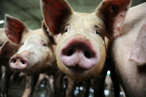 """A team of Chinese researchers looked at influenza viruses found in pigs from 2011 to 2018 and found a """"G4"""" strain of H1N1 that has """"all the essential hallmarks of a candidate pandemic virus""""."""