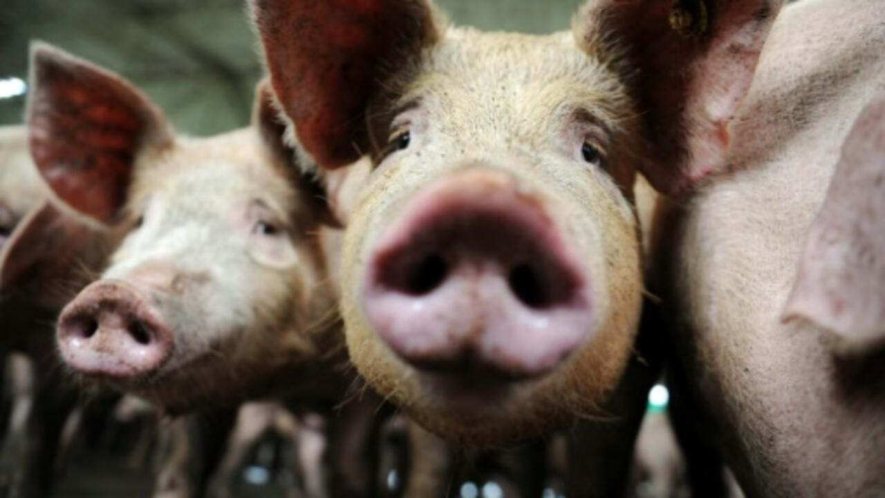 Chinese researchers warn of new flu virus in pigs with human pandemic risk