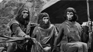 """Les singes créés par le maquilleur John Chambers pour """"La Planète des Singes"""" de Franklin Schaffner en 1968."""