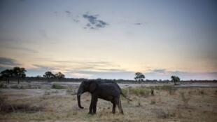 فيل في محمية هوانغي في زيمبابوي