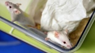Des chercheurs aux Etats-Unis sont parvenus à éliminer durablement le VIH, le virus responsable du sida, chez certaines souris infectées grâce à une combinaison de techniques