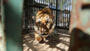 Laziz, le seul tigre survivant du zoo de Khan Younès, dans la bande de Gaza.