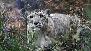 A snow leopard in Kyrgyzstan. As few as 4,000 of the big cats could be left in the high mountains of Asia according to the World Wildlife Fund