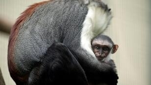 The Roloway Monkey of Cote d'Ivoire and Ghana has fewer than 2,000 left in the wild