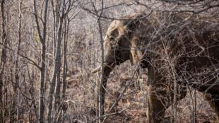 Un elefante, fotografiado el 19 de septiembre de 2016 en el Parque Nacional Pilanesberg de Sudáfrica