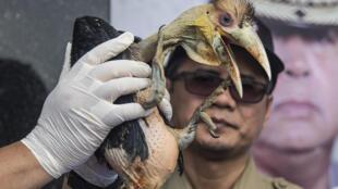 Un funcionario indonesio muestra un bebe cálao con corona incautado a traficantes ilegales de animales durante una conferencia de prensa en Surabaya, Java Oriental, Indonsia, el 4 de febrero de 2020.