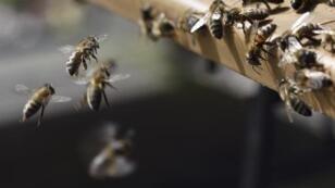 Le poids économique mondial des abeilles est estimé à 153 milliards de dollars par an.