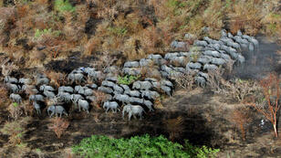 """Un troupeau d'éléphants au """"Zakouma National Park"""", Tchad, avril 2013"""