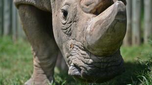 Sudan, le dernier rhinocéros blanc mâle du nord, est mort en mars, au Kenya, à l'âge de 45ans.