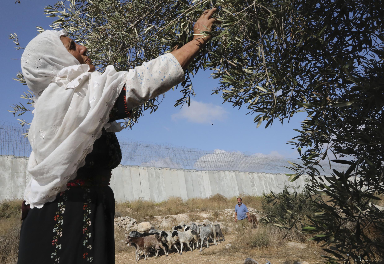 Una mujer palestina recoge aceitunas durante la cosecha en un campo adyacente a la controvertida barrera de separación de Israel que separa la aldea palestina de Dura, cerca de Hebrón, de un asentamiento israelí en el sur de la Cisjordania ocupada, el 19 de octubre de 2019.