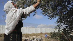 palestine palestinian woman olives agriculture west bank dura israel