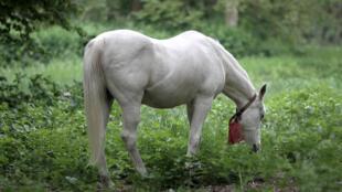 A 25-year-old horse named Jenny grazes on a field during her daily walk in Fechenheim near Frankfurt am Main