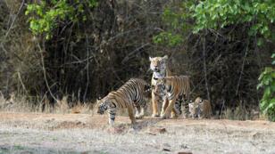 Ces tigres sortent de la forêt pour venir dévorer vos grands-parents pendant leurs travaux aux champs (non).
