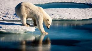Un ours polaire dans l'Arctique, le 13 septembre 2016.