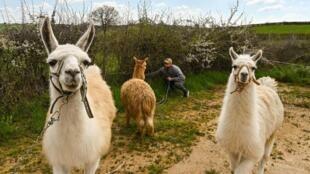 Des lamas le 3 avril 2020 à in Perrecy-les-Forges