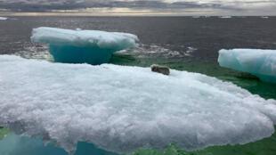 Un renard polaire isolé sur un morceau de glace au large du Canada, en mer du Labrador, sauvé in extremis par des pêcheurs.