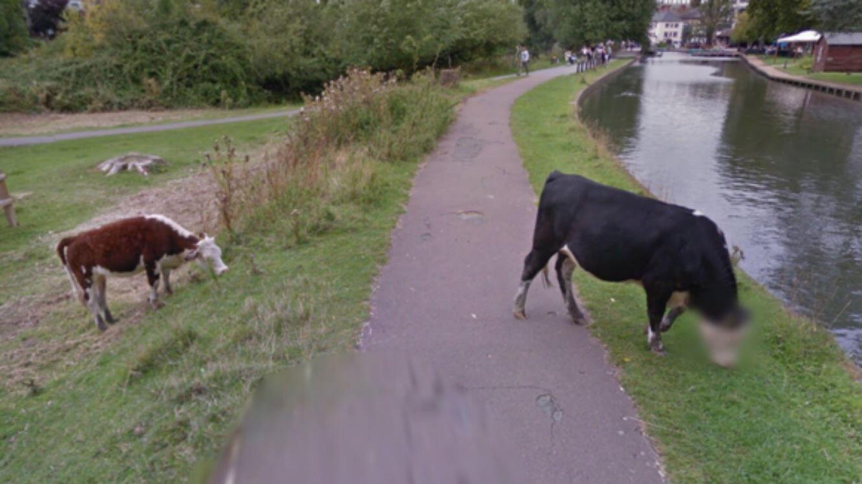 Paradoxalement, cette vache n'aura jamais été autant regardée que depuis qu'elle a la tête floutée.