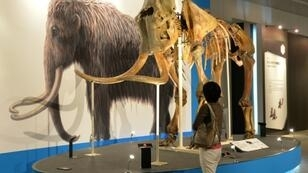 The frame specimen of a mammoth is displayed at an exhibition in Yokohama, suburban Tokyo on July 12, 2013; the giant mammals have been extinct for around 10,000 years and are not covered by international agreements on endangered species