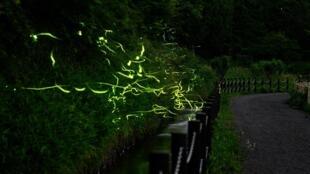A long exposure captures fireflies at Tatsuno Hotarudoyo Park in Nagano Prefecture, Japan