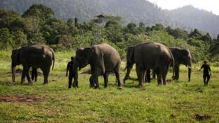 Des éléphants patrouilleurs sur l'île de Sumatra, le 25 janvier 2015.