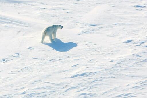 Los osos polares se ven cada vez más afectados por el calentamiento global con el derretimiento del hielo del Ártico, obligándolos a pasar más tiempo en tierra donde compiten por la comida.