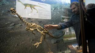 Réplique d'un Chilesaurus disposée par un chercheur dans un musée en Argentine.