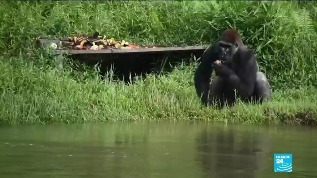 2020-12-30 22:51 Congo-Brazzaville : protéger le gorille des plaines de l'Ouest, espèce très menacée