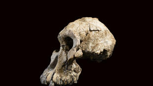 Le crâne fossile d'Australopithèque MRD vieux de 3,8 millions d'années trouvé en Éthiopie.