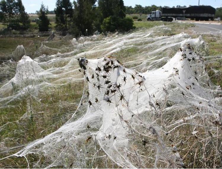 صور العناكب التي غزت المدينة الأسترالية