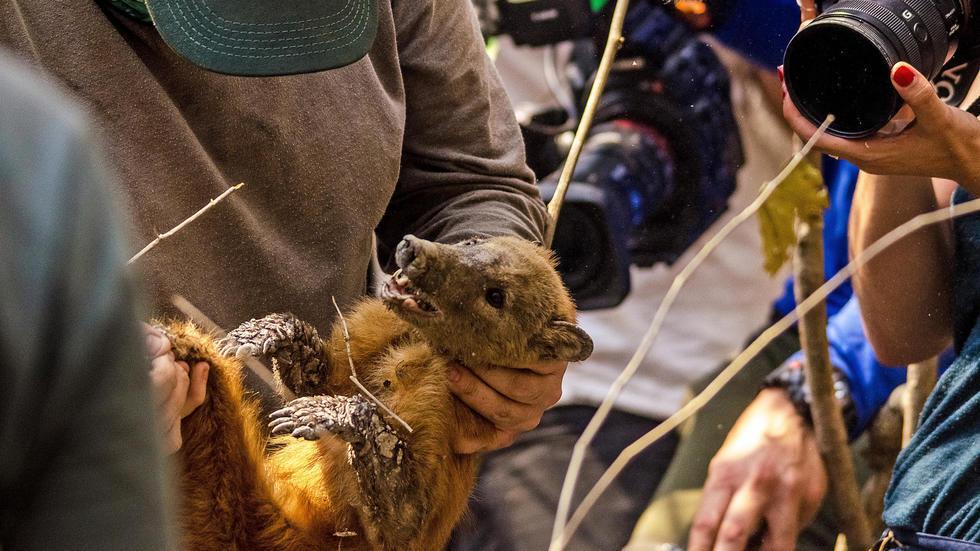 Een wasbeer wordt op 26 augustus 2020 gered uit een brandend moerasland door een team van biologen in Pontanal, Mato Grosso, Brazilië.