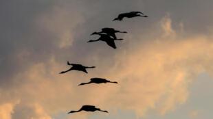 Forcées de se déplacer davantage pour échapper aux conséquences de l'activité humaine, la survie de nombreuses espèces sauvages est menacée, selon une étude
