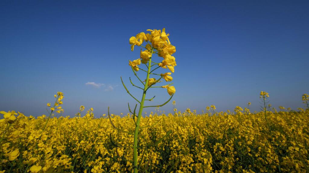 Bruxelles pris au piège des OGM «nouvelle génération»