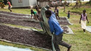 Des récoltes de vanille à quelques kilomètres de Sambava, dans le nord-est de Madagascar.